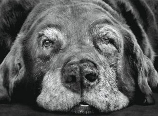 perro mayor, Seguros Veterinarios, seguros para perros