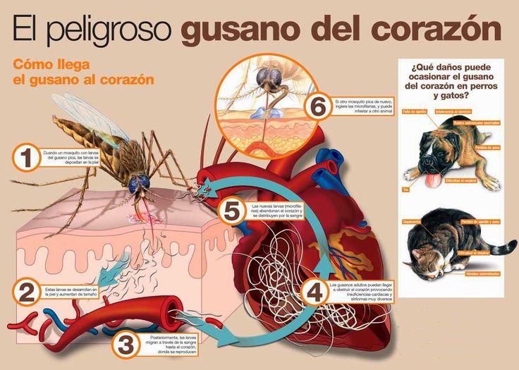 8715d5817f51c33bb705af775afa647f - Enfermedades transmitidas por insectos a nuestras mascotas.- Parte 2