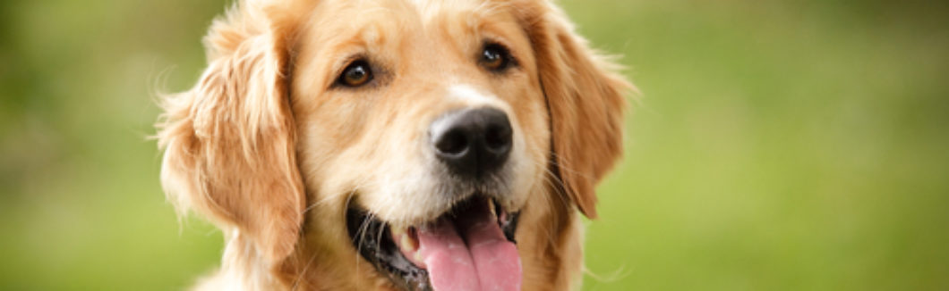 Golden retriever, Seguros Veterinarios, seguros para perros