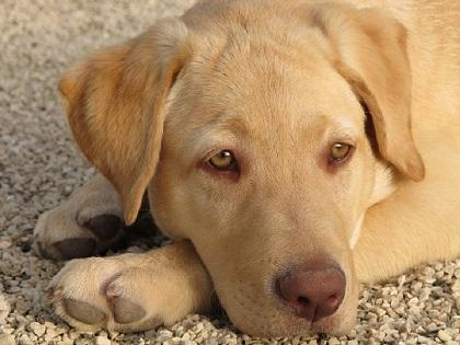 labrador retriever, Seguros Veterinarios, seguros para perros