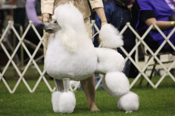 Perro concursa en el Westminster Kennel Club Dog Show de Nueva York/Facebook