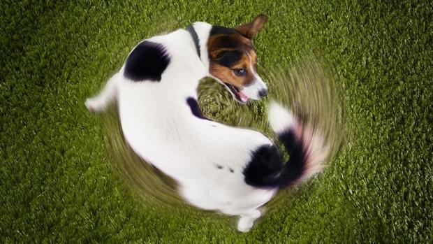 Perro jugando con su cola