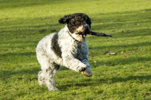 perro de agua español, Seguros Veterinarios, seguro para perros
