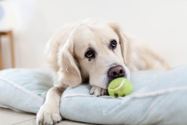Golden retriever, Seguros Veterinarios, seguros para perros