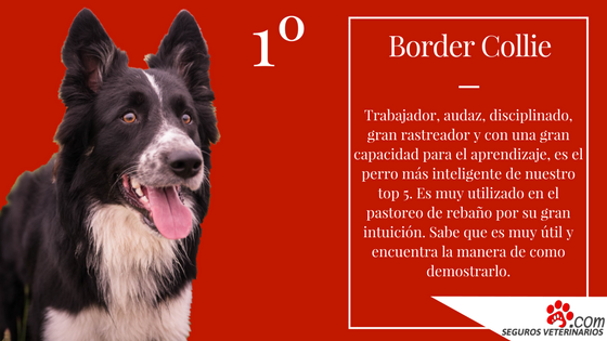 Border Collie - ¿Cuáles son las 5 razas de perros más inteligentes?