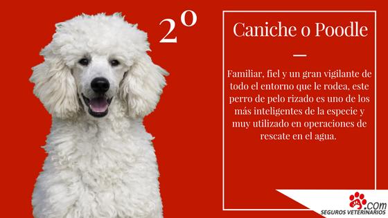 Caniche - ¿Cuáles son las 5 razas de perros más inteligentes?