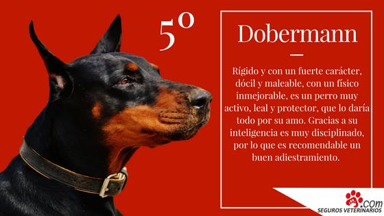 Dobermann - ¿Cuáles son las 5 razas de perros más inteligentes?