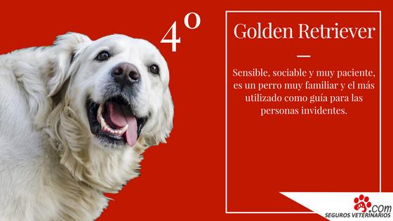 Golden Retriever - ¿Cuáles son las 5 razas de perros más inteligentes?